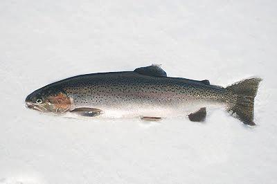 da dk fiskearter havkat
